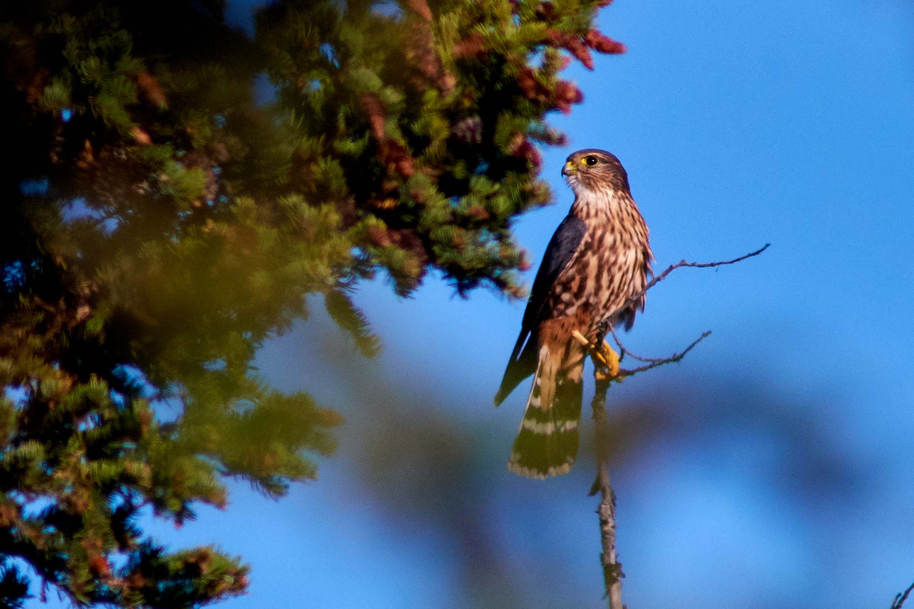 Alaska Hawk