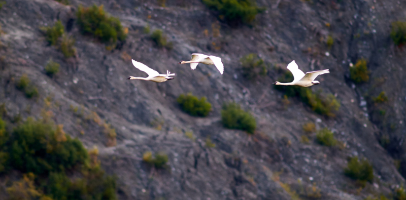 Alaska Swans