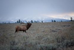 Jackson Hole Elk