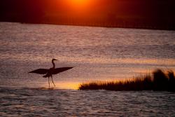 Outer Banks Heron